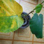 ウンベラータの葉が黄色い